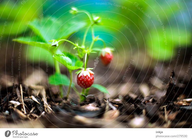 Erdbeeren Lebensmittel Frucht Ernährung Gartenarbeit Landwirtschaft Forstwirtschaft Sommer Nutzpflanze Wachstum frisch Gesundheit lecker nachhaltig rund saftig