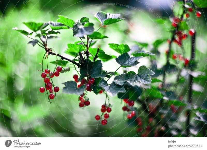 Johannisbeeren Frucht Ernährung Gartenarbeit Landwirtschaft Forstwirtschaft Sommer Pflanze Sträucher Nutzpflanze hängen Wachstum frisch Gesundheit lecker