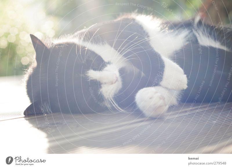 Gegenlichtmiezenjunge Häusliches Leben Terrasse Holzfußboden Natur Tier Haustier Katze Fell Pfote 1 genießen liegen schlafen schwarz weiß Gelassenheit ruhig