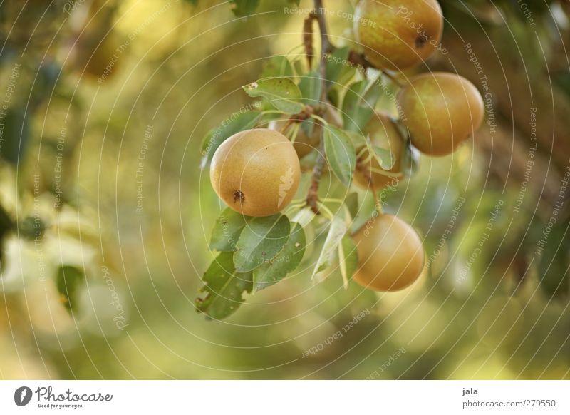 reife früchtchen Natur Sommer Pflanze Baum Blatt Umwelt Gesundheit Frucht Lebensmittel lecker Birne Nutzpflanze fruchtig Birnbaum