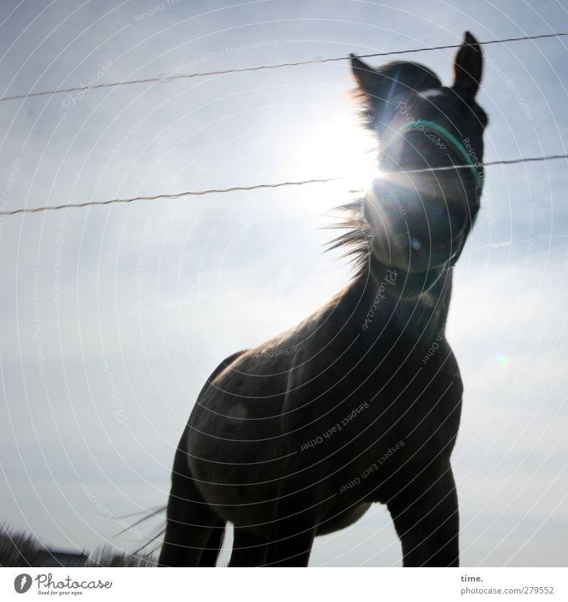 Hiddensee | Gegenlichtweidenzauselstute Himmel Sonne Schönes Wetter Tier Nutztier Pferd 1 Zaun Halfter beobachten stehen authentisch groß muskulös natürlich