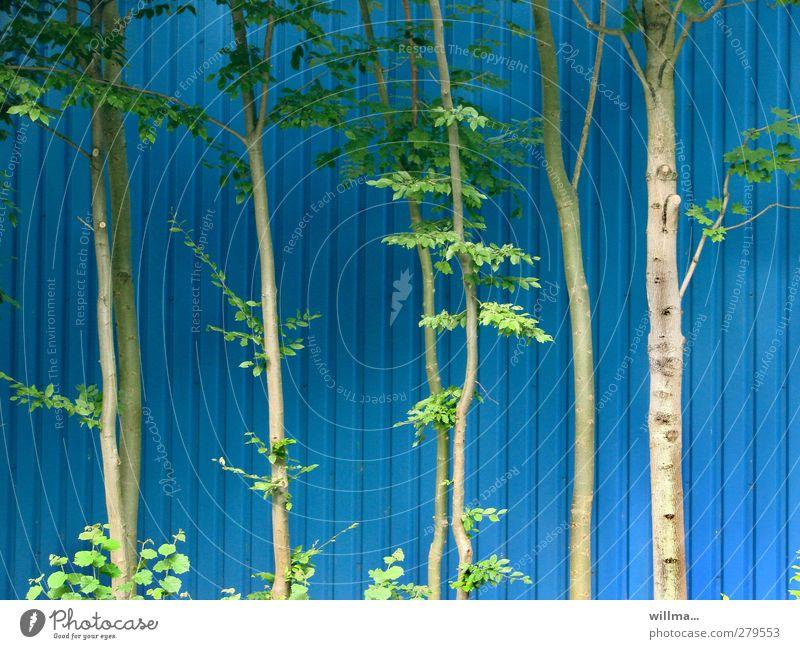 stammhaltertango blau grün Pflanze Baum Umwelt Wand Fassade Streifen dünn Baumstamm Wäldchen Erlen Wandverkleidung