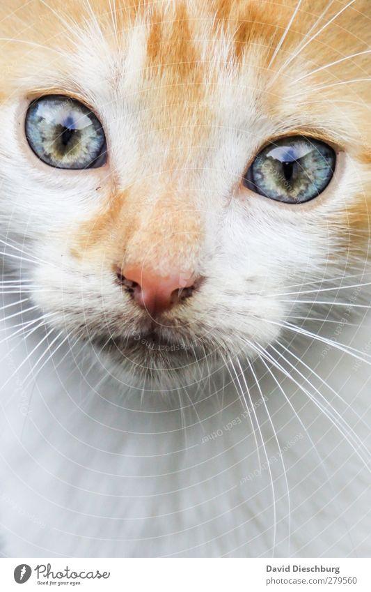 """Sternzeichen """"Löwe"""" Katze blau grün weiß schön Tier gelb grau Tierjunges glänzend Zufriedenheit Nase Neugier Fell Tiergesicht Momentaufnahme"""
