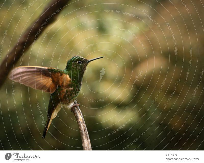 Ich bin dann mal weg Tier Wildtier Vogel Colibris 1 fliegen frei klein natürlich Neugier niedlich schön braun gelb gold grün Kolumbien Salento Farbfoto