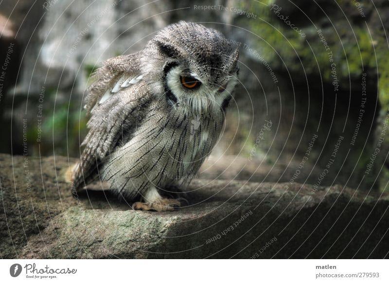 Wo ist die Maus...? grün Tier grau Vogel Felsen beobachten Wachsamkeit Pfote Vorfreude Krallen Eulenvögel
