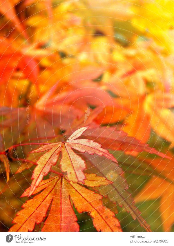 herbstrausch Natur Pflanze rot Blatt gelb Herbst orange Schönes Wetter Herbstfärbung Blätterdach Farbrausch leuchtende Farben Spitzahorn