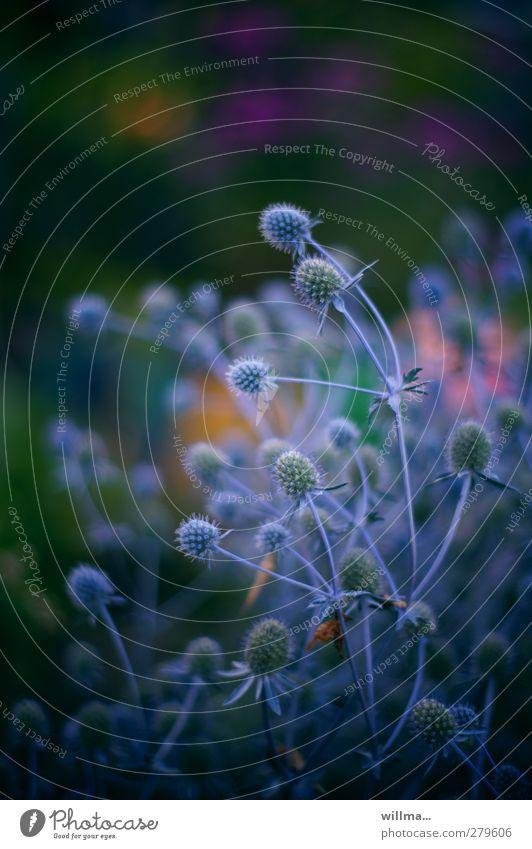 Stachelige Angelegenheit Distel blau Natur Pflanze Sommer Korbblütengewächs Blaudistel Garten schön stachelig dunkel leuchtende Farben Sommerabend Große Klette