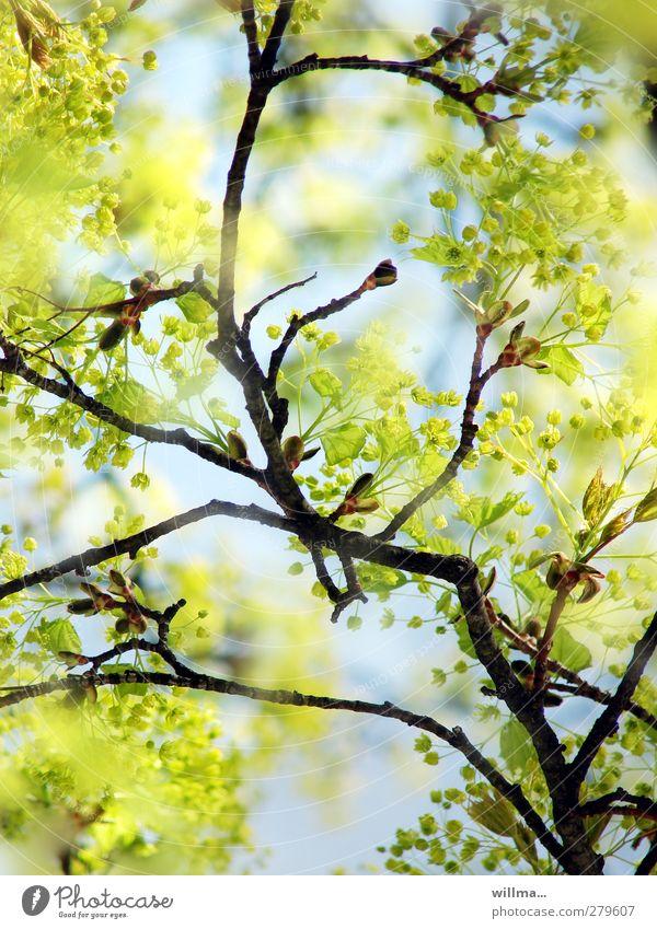 frühlingslinde Natur grün Pflanze Baum gelb Frühling Schönes Wetter Ast Blühend hell-blau hellgrün Linde Frühlingsfarbe leuchtend grün Lindenblüte