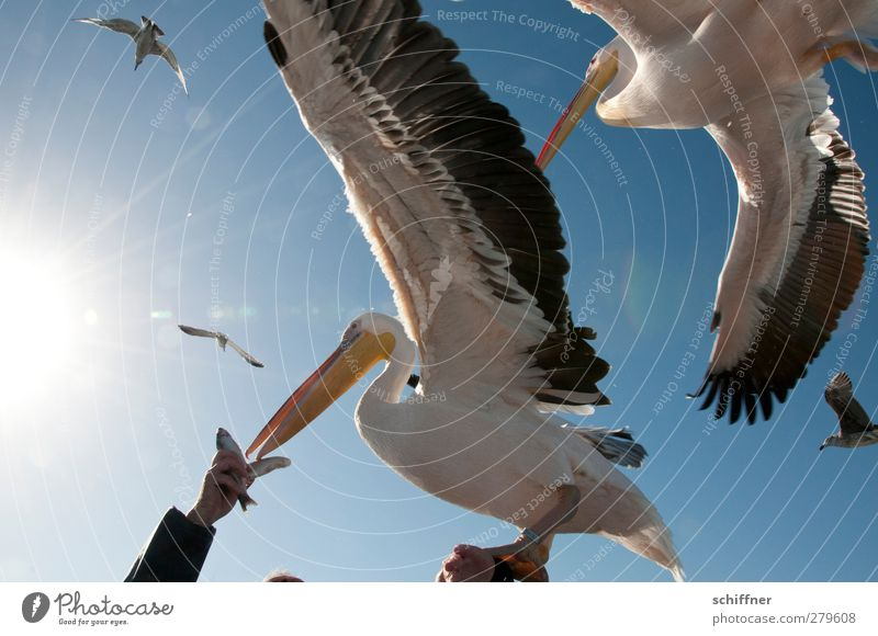 Fingerfood Tier Wildtier Vogel Tiergruppe Schwarm fliegen füttern Pelikan Möwe Arme Hand Fisch Menschenmenge durcheinander Angriff Appetit & Hunger flattern