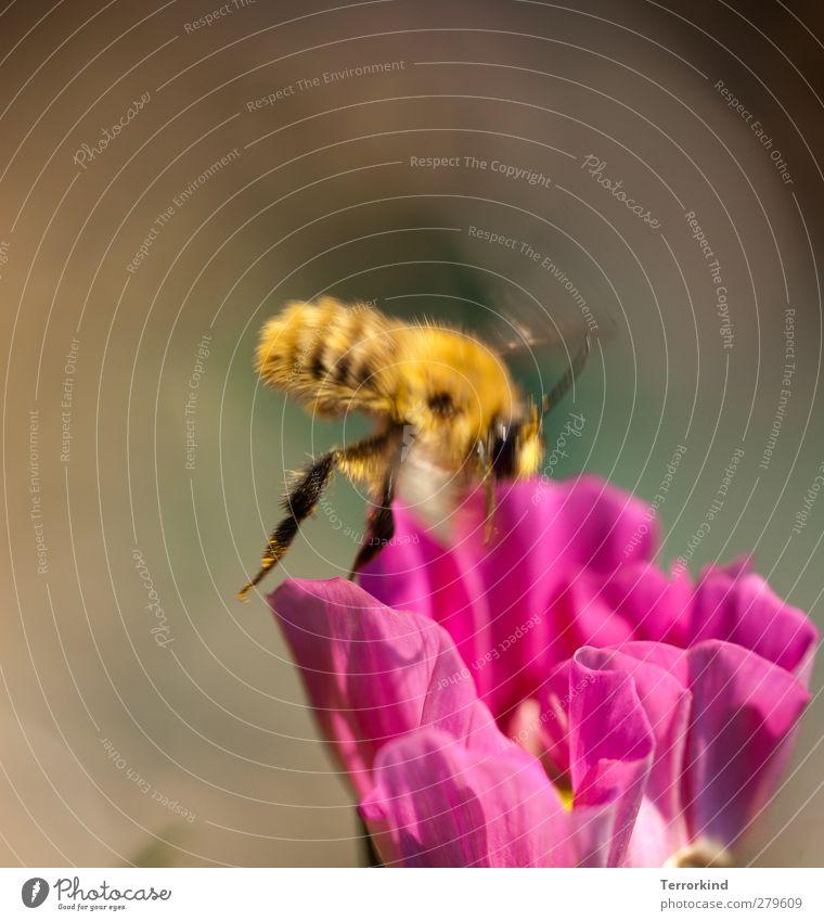 terrorkind.macht.immer.nur.so.dunkle.grau.scheisse. Blume Bewegung Blüte rosa fliegen Flügel Biene unterwegs Honig ansammeln magenta bestäuben