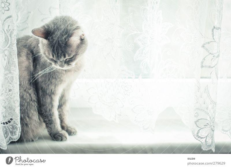 Mojo widerwillens Katze Tier Fenster grau hell sitzen authentisch niedlich weich Neugier Fell Wachsamkeit Haustier sanft Gardine tierisch