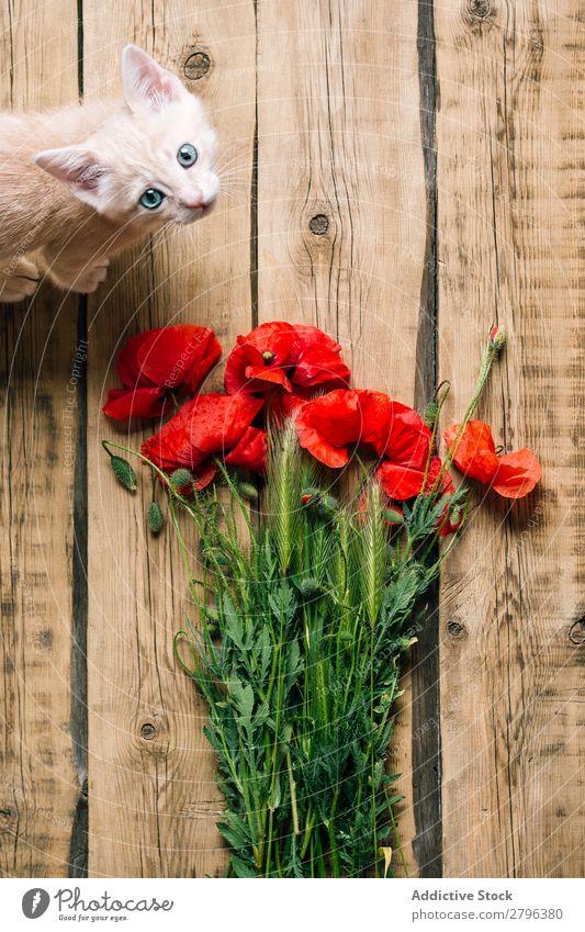 Süßes Kätzchen in der Nähe von Mohnblumen. Katze Blumenstrauß Haustier Holz Oberfläche Tier heimisch