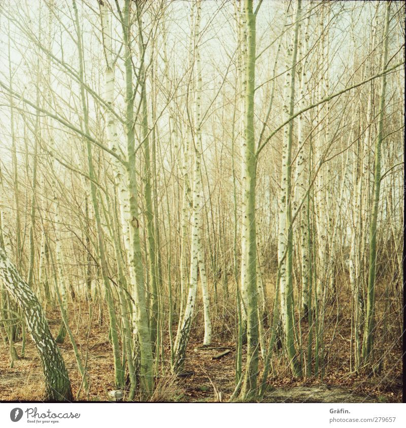 Baumgewusel Natur grün weiß ruhig Wald Erholung Umwelt Herbst Holz braun trist Romantik geheimnisvoll Zweig Baumstamm