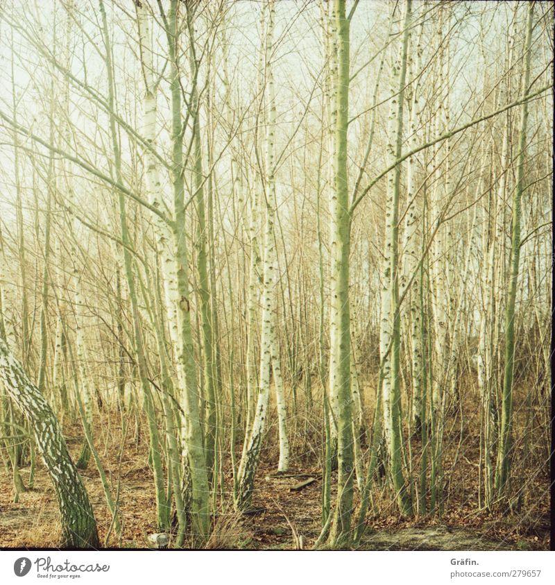 Baumgewusel Umwelt Natur Herbst Wald Holz Erholung trist braun grün weiß Romantik ruhig geheimnisvoll Irritation Zweig kahl Baumstamm Farbfoto Außenaufnahme