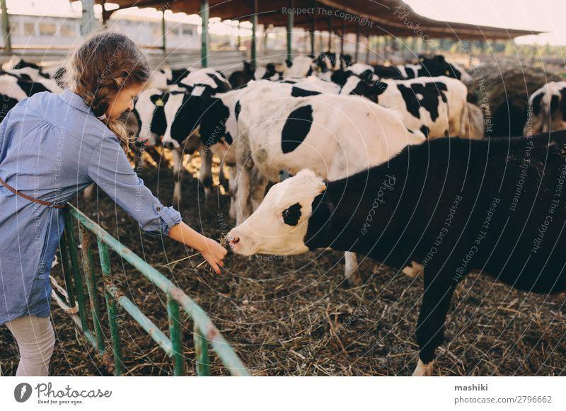 Kind Mädchen füttert Kalb auf der Kuhfarm. Lifestyle Glück Ferien & Urlaub & Reisen Sommer Baby Kindheit Umwelt Natur Landschaft Dorf Herde füttern authentisch