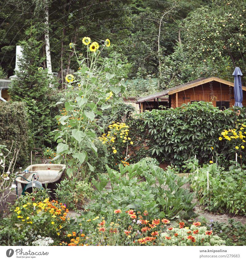 versteckt grün Pflanze Baum Blume Garten natürlich Blühend verstecken Sonnenschirm Beet Sonnenblume Schrebergarten bewachsen Gartenhaus Kleingartenkolonie