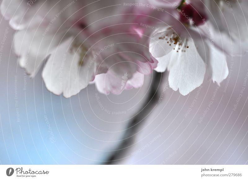 Flühling in Glaz Natur Pflanze Himmel Baum Blüte Zierkirsche Garten Blühend Duft Kitsch positiv schön rosa weiß Glück Frühlingsgefühle Warmherzigkeit Sympathie