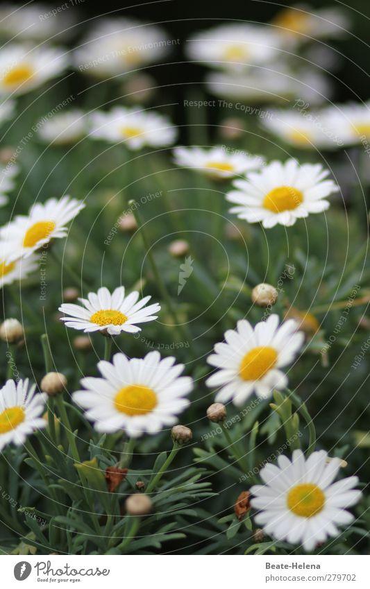 Einen Blütenteppich schenke ich dir Natur Pflanze Sommer Blume Blatt Margerite Garten Wiese Blühend leuchten natürlich schön gelb grün weiß Romantik Glück