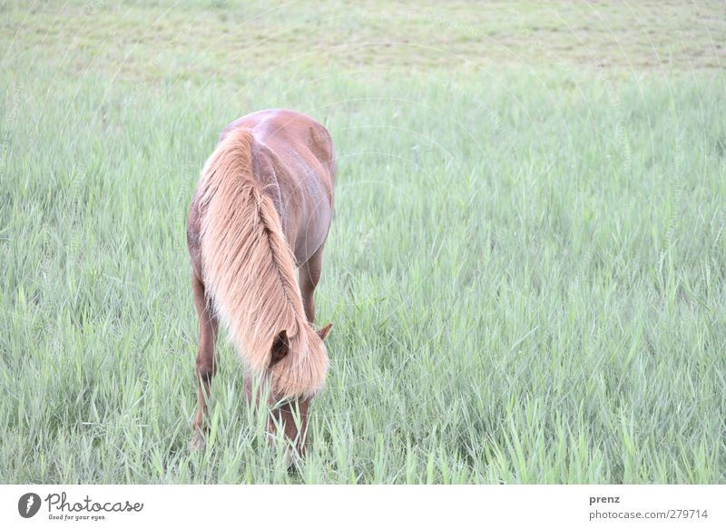 Island pony Umwelt Natur Tier Wiese Nutztier Pferd 1 braun grün Island Ponys Fressen Darß Farbfoto Außenaufnahme Menschenleer Textfreiraum rechts Tag