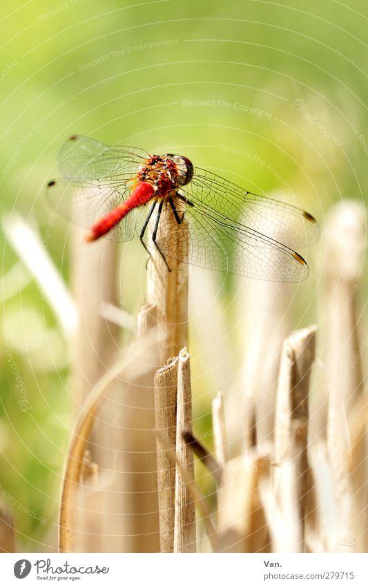 Auf die Plätze... Natur Tier Sommer Halm Garten Wildtier Flügel Insekt Libelle 1 frisch hell grün rot Farbfoto mehrfarbig Außenaufnahme Nahaufnahme Menschenleer