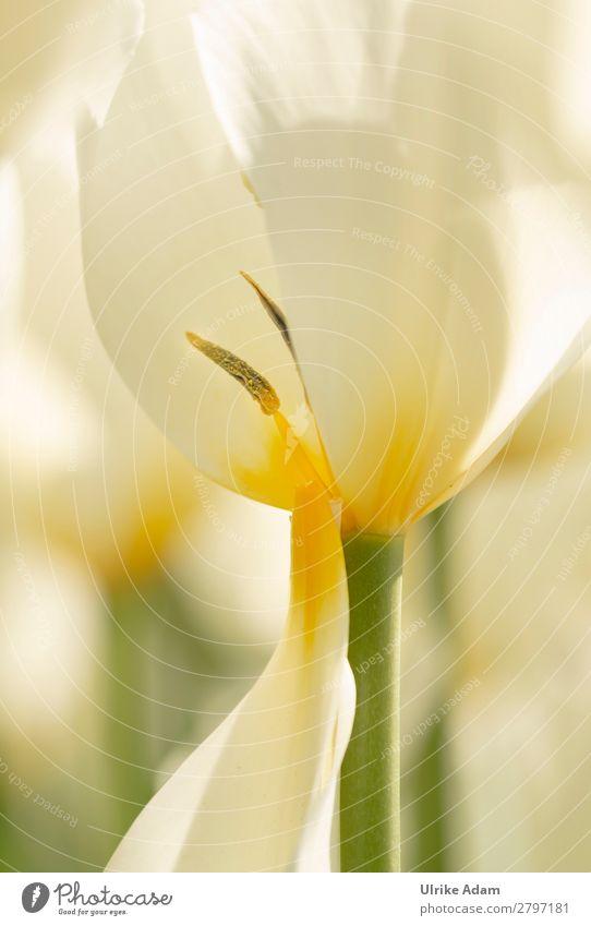 Frühling ...Tulpenzeit elegant Wellness harmonisch Wohlgefühl Zufriedenheit Erholung ruhig Meditation Spa Dekoration & Verzierung Tapete Osterkarte Ostern Natur