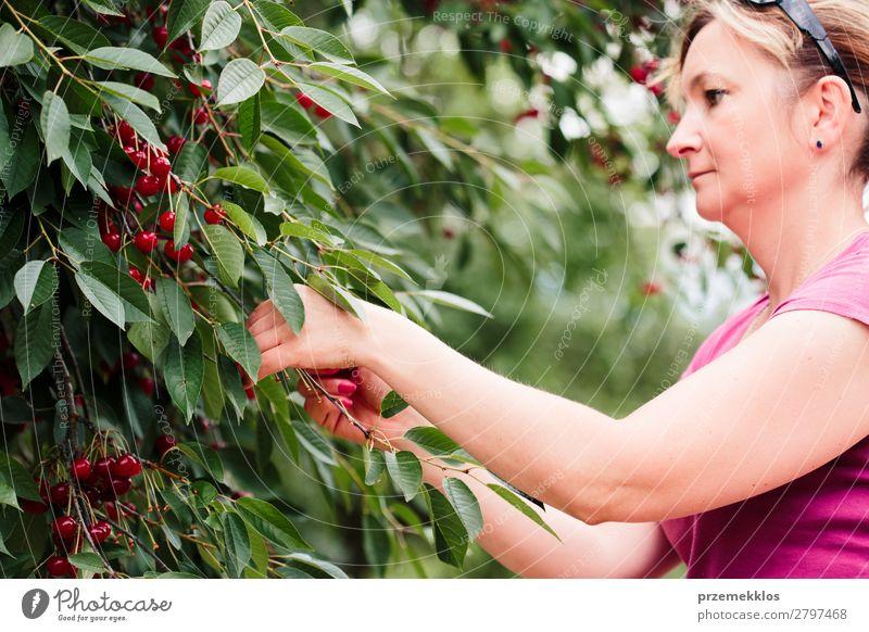 Frau beim Pflücken von Kirschbeeren vom Baum Frucht Sommer Garten Erwachsene Hand 1 Mensch 30-45 Jahre Natur Blatt authentisch frisch lecker grün rot Ackerbau