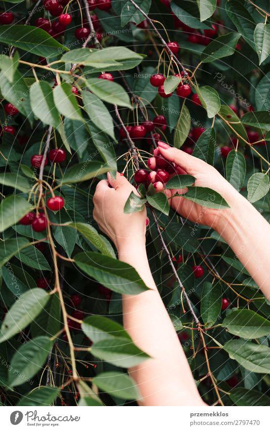 Frau beim Pflücken von Kirschbeeren vom Baum Frucht Sommer Garten Erwachsene Hand Natur Blatt authentisch frisch lecker grün rot Ackerbau Beeren Kirsche