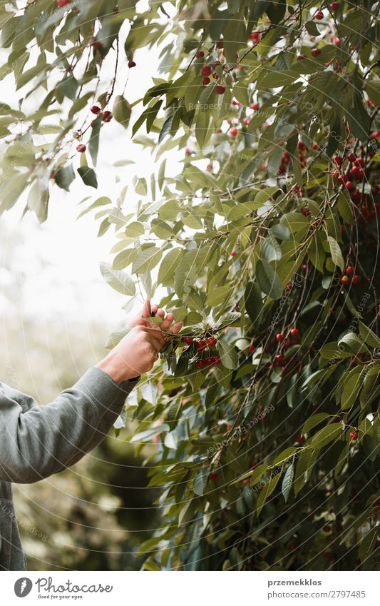 Junger Mann pflückt Kirschenbeeren vom Baum Frucht Sommer Garten Arbeit & Erwerbstätigkeit Erwachsene Hand Natur Blatt authentisch frisch lecker grün rot