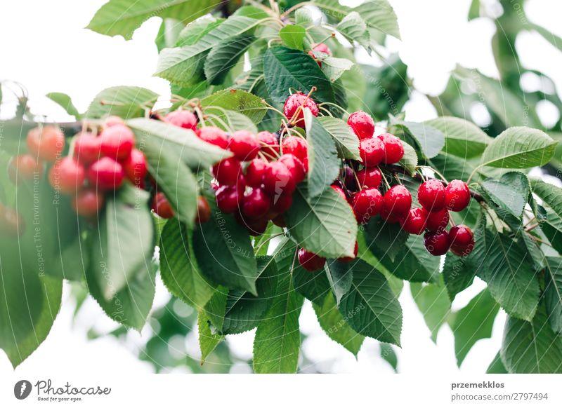 Nahaufnahme von reifen roten Kirschbeeren am Baum zwischen grünen Blättern Frucht Sommer Garten Natur Blatt authentisch frisch lecker Ackerbau Beeren Kirsche