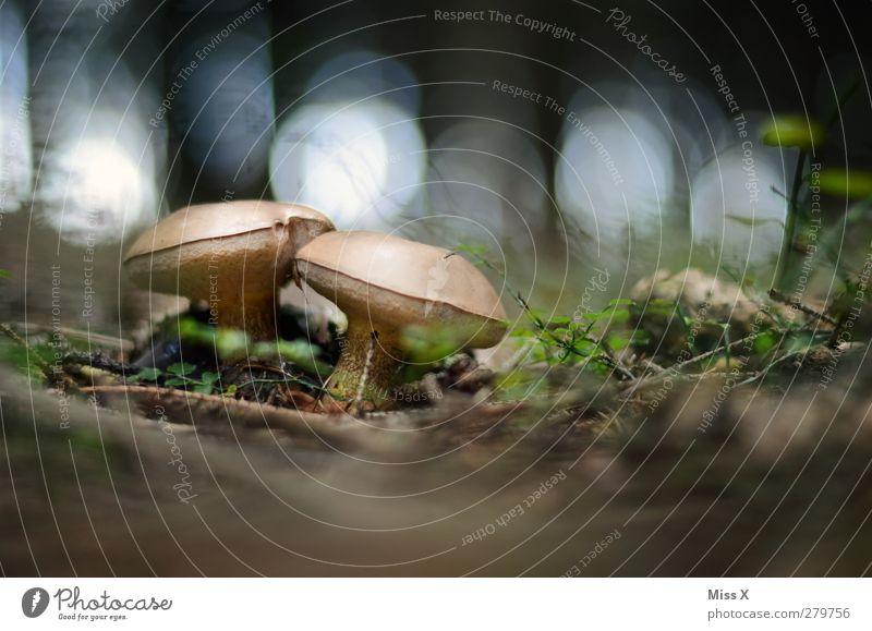 Zwei Männlein im Walde Lebensmittel Ernährung lecker Pilz Steinpilze Waldboden Waldlichtung Farbfoto Außenaufnahme Nahaufnahme Menschenleer Textfreiraum oben