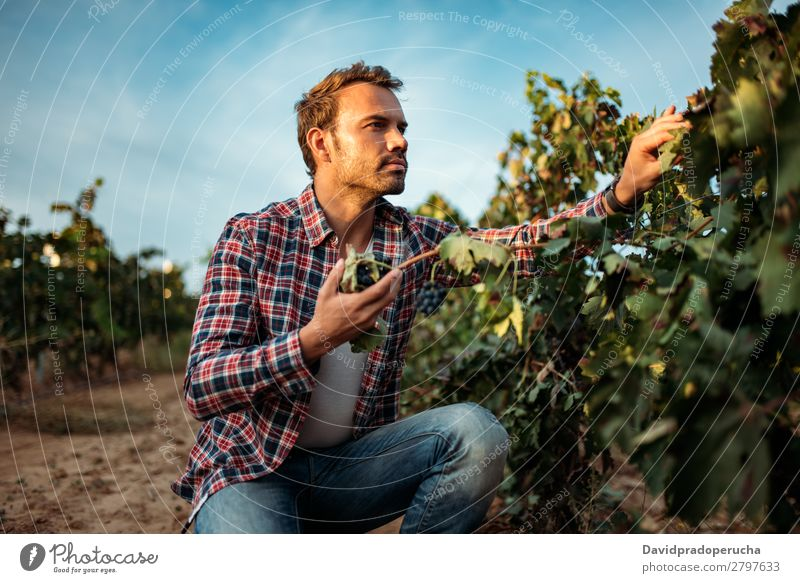 Mann im Weinberg Weingut Weintrauben organisch Haufen Anhäufung Ernte Ackerbau grün weiß ländlich Verkostung greifen Kaukasier Spanien Industrie Natur Herbst