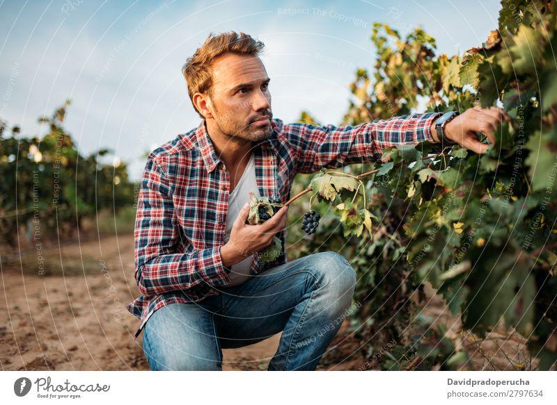 Junger Mann beim Schnappen einer Traube in einem Weinberg Weingut Weintrauben organisch Haufen Anhäufung Ernte Landwirtschaft grün weiß ländlich Verkostung