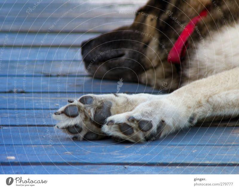 Max relaxt Hund blau Tier Erholung liegen Zufriedenheit Fell genießen Holzbrett Haustier Pfote Schnauze Krallen ausgestreckt Halsband