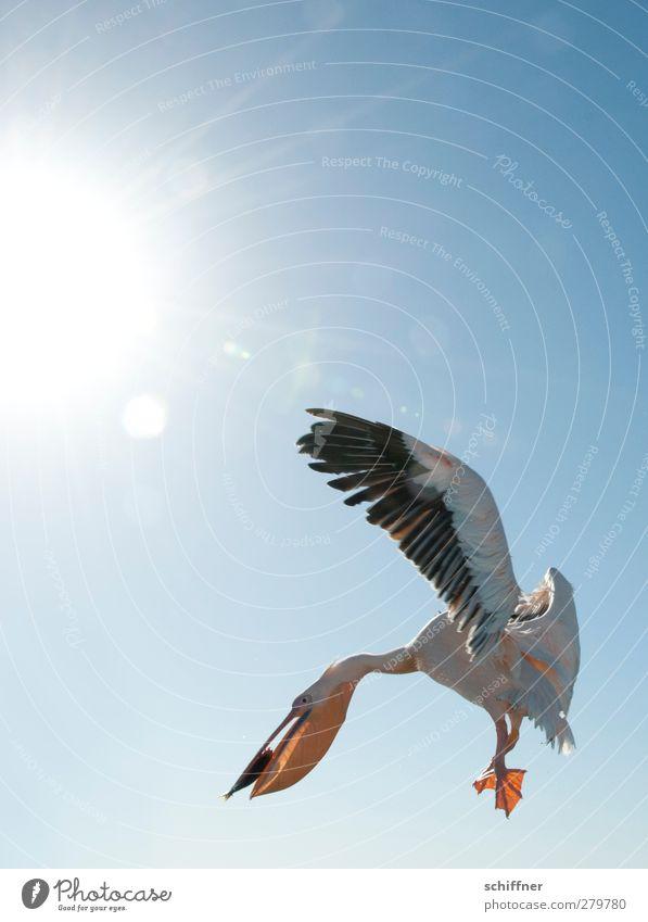 Fliegenfischfischer Wolkenloser Himmel Sonne Tier Wildtier Vogel Fisch 2 fliegen flattern Fressen fangen Fischfutter Hering Pelikan Sonnenlicht