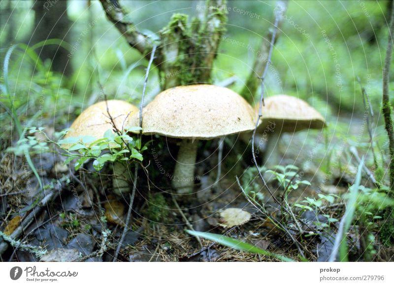 Pilze Umwelt Natur Landschaft Pflanze Erde Schönes Wetter Baum Gras Moos Wildpflanze Wiese Duft frisch natürlich wild Idylle Wachstum Zusammenhalt Wildnis