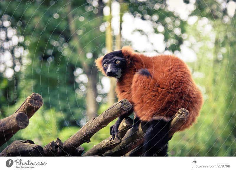 king julien ohne krone Natur rot Tier Wald Umwelt oben lustig Wildtier wild sitzen beobachten Ast Neugier Fell Zoo frech