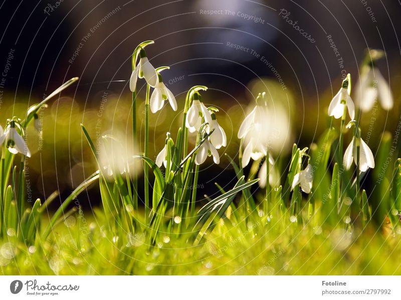 Glöckchen Natur Pflanze schön grün weiß Landschaft Blume Wärme Umwelt Blüte Frühling natürlich Wiese Gras Garten braun