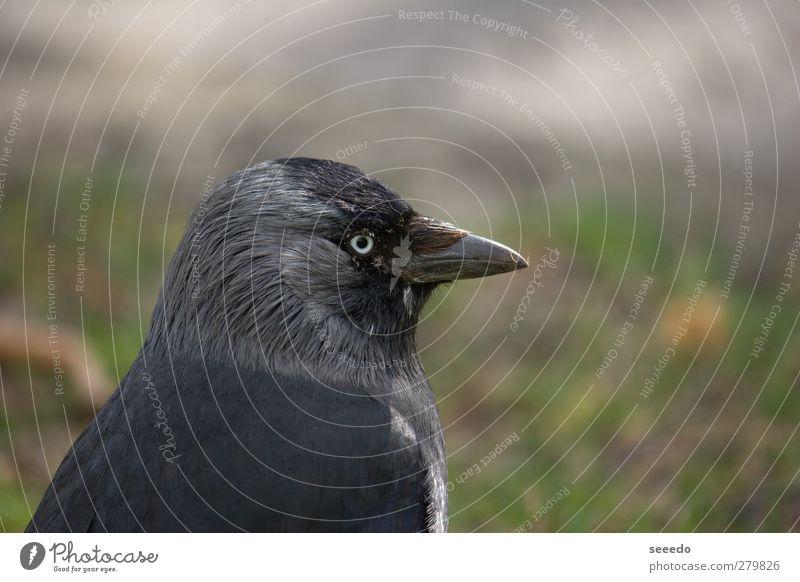 Überwachung (Rabe) Tier Vogel Rabenvögel Krähe 1 beobachten grau schwarz Coolness Sicherheit Schutz Wachsamkeit Kraft Ruhe Farbfoto Außenaufnahme Nahaufnahme