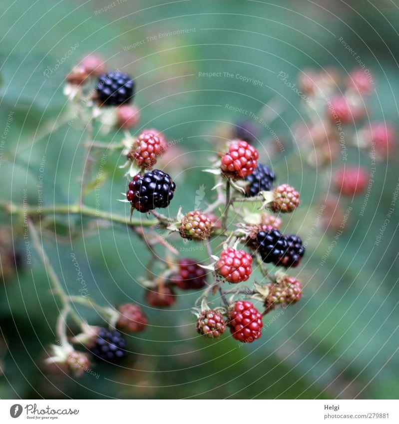 reifen... Natur grün Sommer Pflanze rot Blatt schwarz Wald Umwelt Leben klein Gesundheit Frucht Wachstum Sträucher Wandel & Veränderung