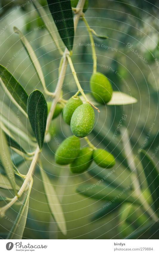 Extra Nativ Virgin Natur Pflanze schön grün Sommer Baum Wachstum authentisch Ast rein Bioprodukte Duft mediterran hängen ökologisch positiv