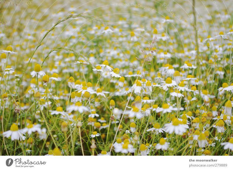 margeritenfeld Natur grün weiß schön Sommer Pflanze Blume Blatt Landschaft gelb Wiese Blüte Gesundheit orange Feld frisch