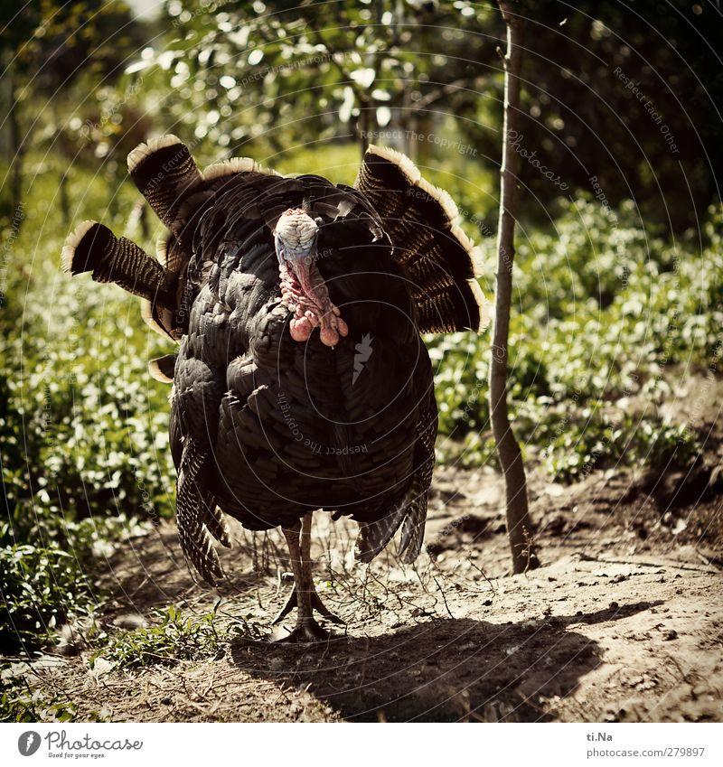männlich | Angeber grün Tier schwarz groß maskulin beobachten Haustier Nutztier Proletarier Pute