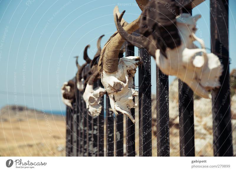 männlich | Schafskopf blau Tod Kopf braun außergewöhnlich Tiergruppe bedrohlich Vergänglichkeit gruselig Gewalt Horn trashig bizarr Tradition Skelett rebellisch