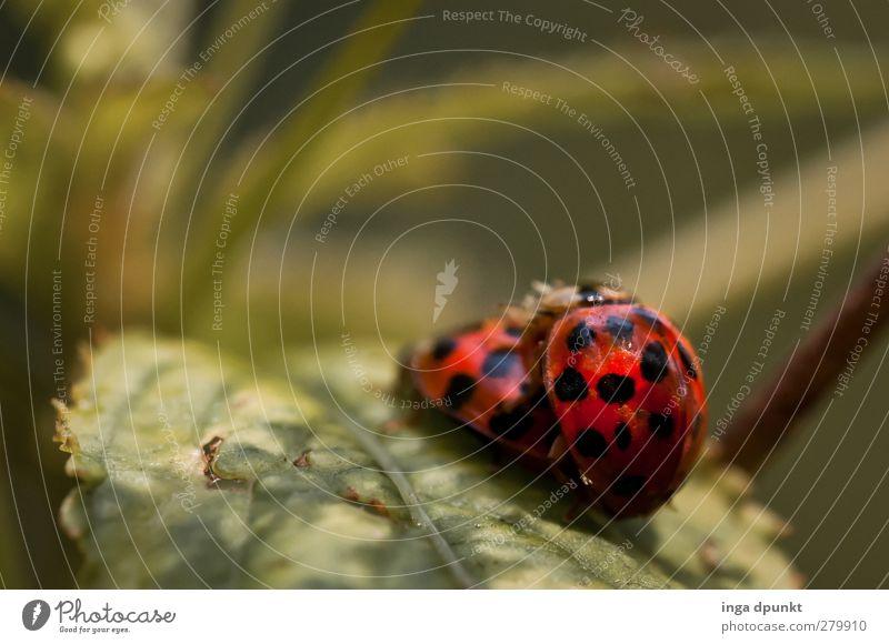 Käferglück Umwelt Natur Pflanze Frühling Sommer Blatt Garten Park Insekt Marienkäfer Tier 2 Tierpaar außergewöhnlich natürlich schön Glück Fröhlichkeit