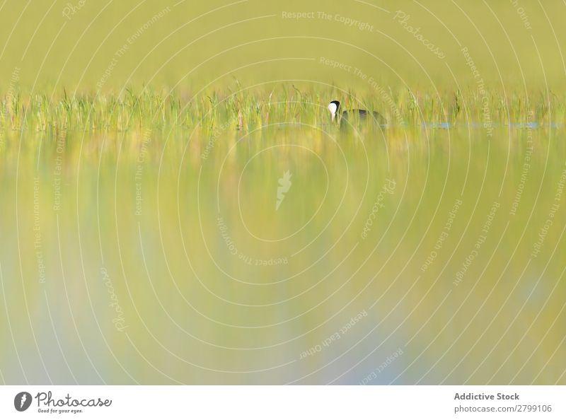 Wildblässhuhn Vogel schwimmend auf dem Wasser wild Blässhuhn belena lagune Guadalajara Spanien Schwimmsport Gras grün Tauchkäfig Wetter Natur Tier Tierwelt