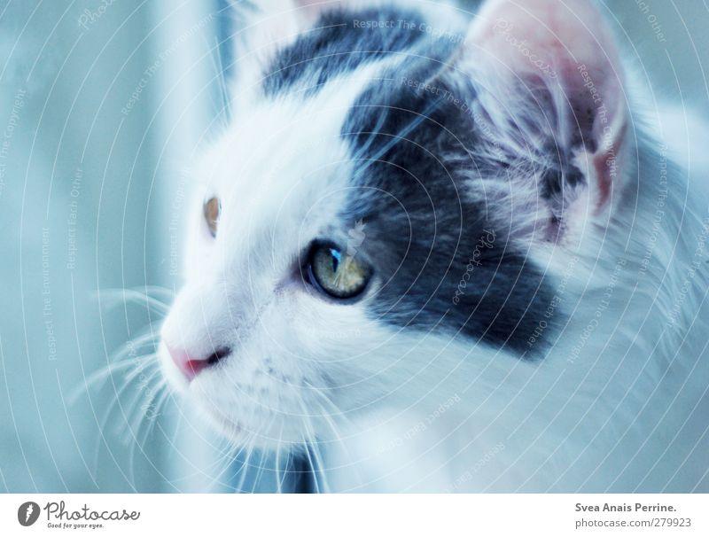 Coon and friends. Katze blau Tier Fenster weich Fell Sehnsucht Haustier Fensterscheibe Fernweh Heimweh Schnurrhaar