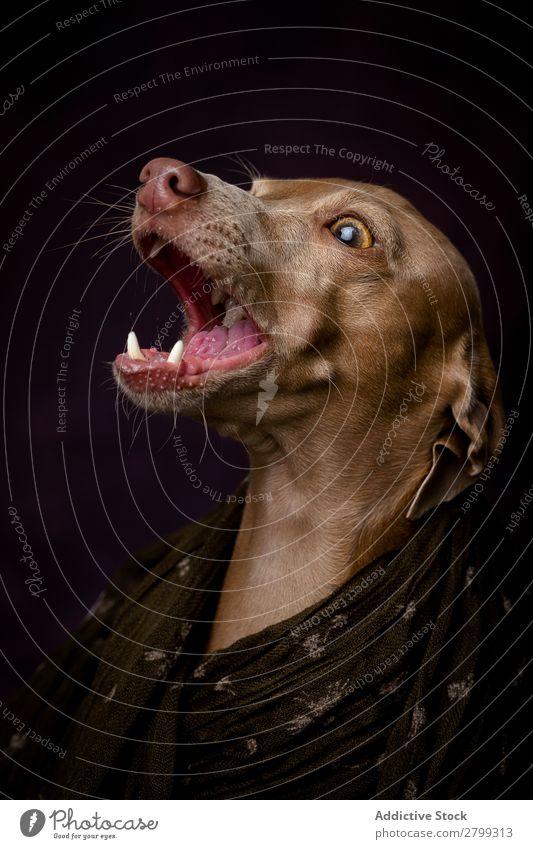 Italienischer Windhundhund mit arabischem Hijab dunkel Kostüm Freundschaft Porträt Fröhlichkeit Niqab Freundlichkeit Hund lustig Kunst Galgo Glück braun Tier