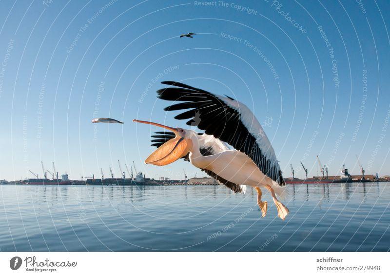 uuuuund Haps! Landschaft Tier Wildtier Vogel Fisch fangen fliegen füttern schnappen flattern Pelikan Hering Hafen Kran Treffer Glück Walvisbay Namibia Farbfoto