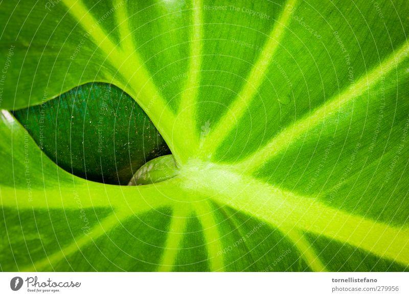 Natur grün Pflanze Farbe Blatt lecker Botanik Erdhöhle Zimmerpflanze Venen