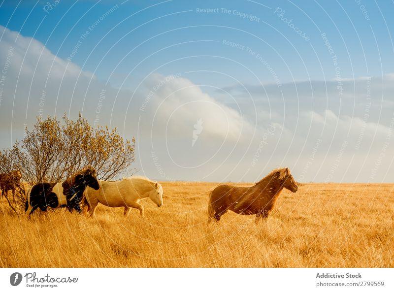 Wildpferde im goldenen Feld Pferd Island Gold wild Tal schön Tier Wiese Landschaft Natur Herde Menschengruppe abgelegen Sonnenlicht hell